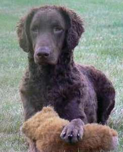 curly coated retriever züchter